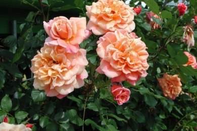"Троянда ""Алоха"" (Aloha) влітку"