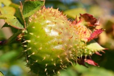 «Роза Роксбергі Нормаліш» (Rosa roxburghii normalis) з шипшинами, схожимми на каштани