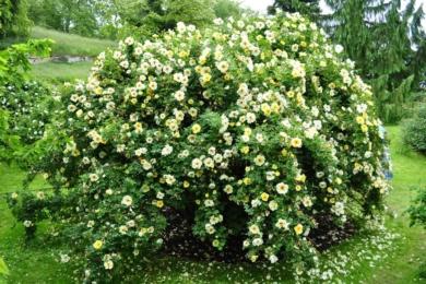 """Троянда """"Спіносіссіма"""" (Spinossisima) в пору цвітіння"""
