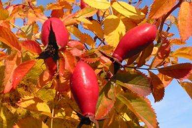 Вітамінна троянда PiR-3 восени