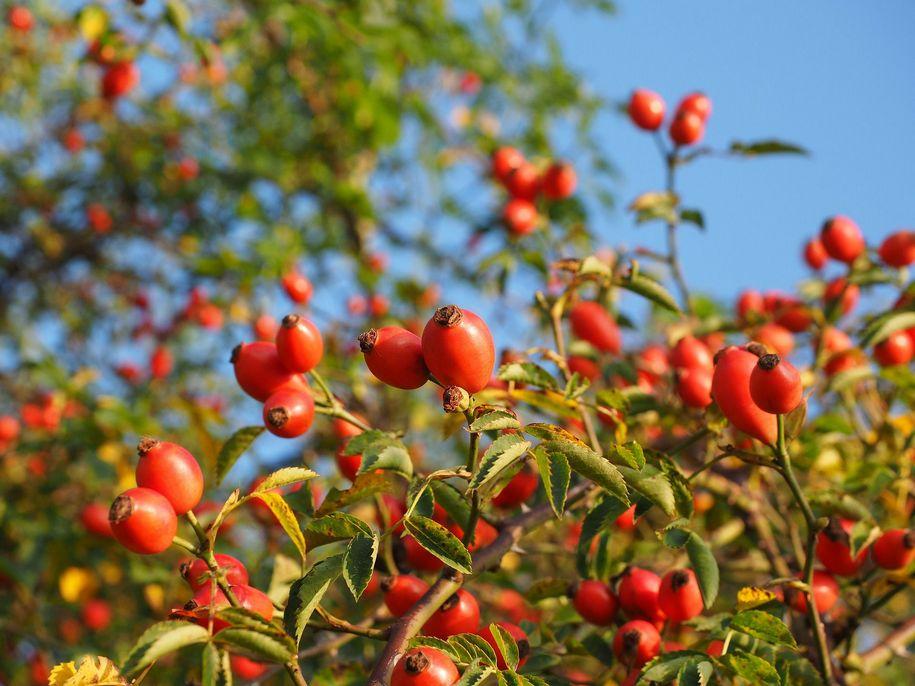 Троянди, які дарують розкішні шипшини — красу саду в міжсезоння
