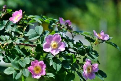 Вітамінна троянда PiR-3