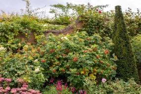 Шипшини в саду Девіда Остіна — англійські, видові і троянди інших селекціонерів