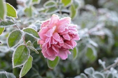 Троянда «Вільдів» (Vildiv) в інеї виглядає чарівно