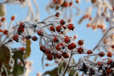 Красиві яскраві трояндові плоди додають дуже потрібний сплеск кольору до зимових місяців