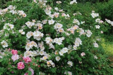 Видова троянда Setipoda