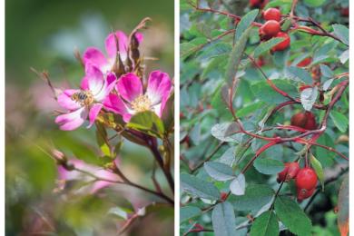 Видова троянда сиза (Glauca) цінується садівниками за сіро-мідно-лілове листя, прості квіти з загостреними пелюстками, рясний врожай