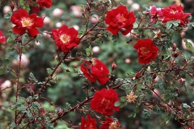 Троянда спіносіссіма(та, що з чорними ягідками) William III