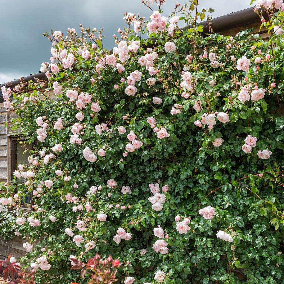 Троянда «Дженероус Гарденер» (The Generous Gardener)