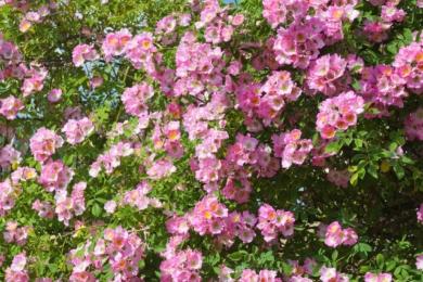 Троянда «К'ю Рамблер» (Kew Rambler)