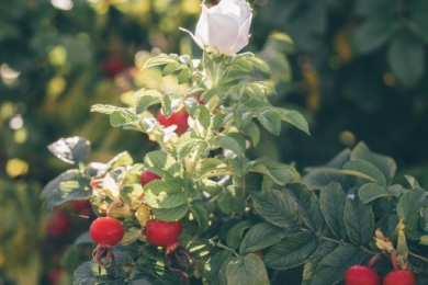 агато з троянд ругоз і їхніх гібридів здатні цвісти і утворювати плоди одночасно — процеси відбуваються паралельно, не заважаючи один одному