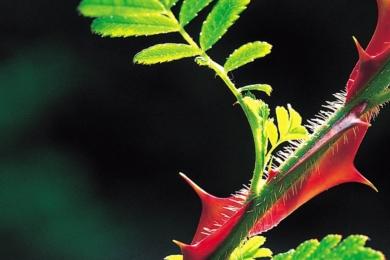 Привабливим в трояндах є не тільки квіти і плоди, а ще і колючки, що оцінили, як садівники, так і флористи