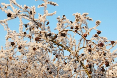 Троянда спіносіссіма «Фалкленд» (Falkland). Яскраві плоди приваблюють птахів їсти та поширювати насіння, що містяться в шипшинах