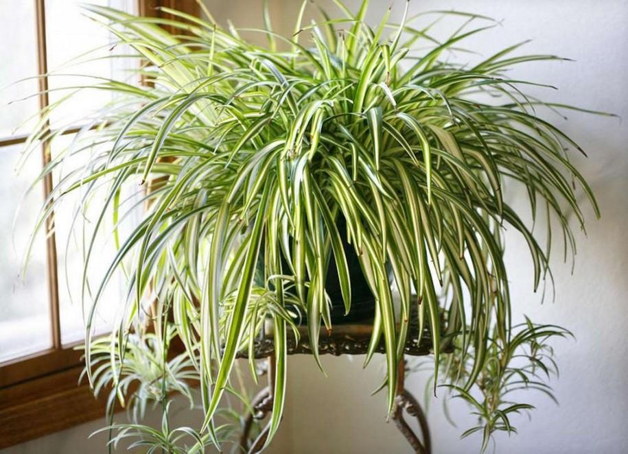 Хлорофітум чубатий (Chlorophytum comosum)
