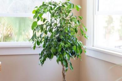 Фікус Бенджаміна (Ficus benjamina)