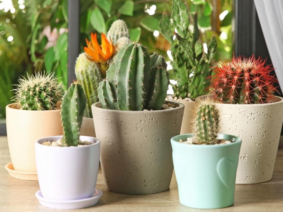 Кактуси (Cactus)