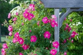 Канадські троянди — ідеальні для практичного, легкого у догляді саду