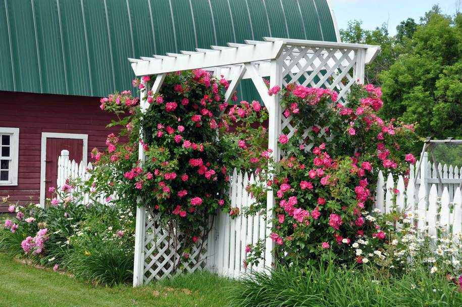 Троянда «Вільям Баффін» (William Baffin) створює яскраві акценти в саду, природньо доповнюючи ландшафт