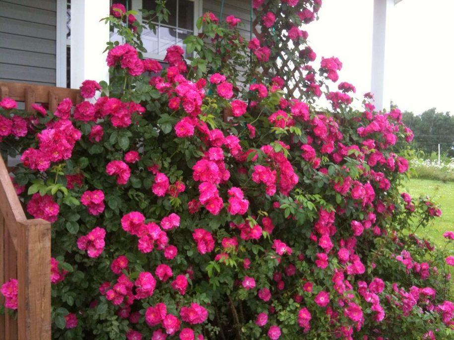 Найулюбленіша канадська троянда - «Джон Кабот» (John Cabot)