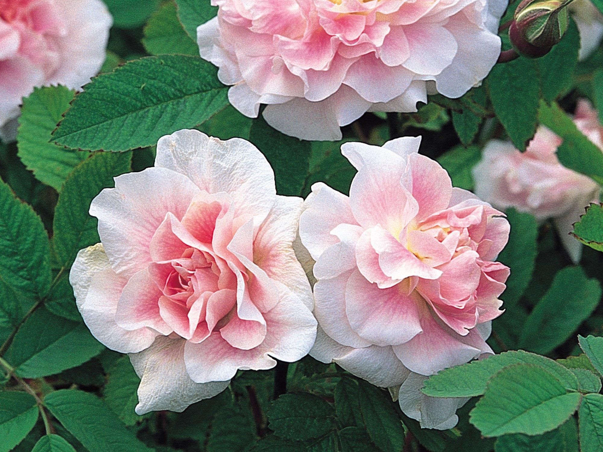 Канадська троянда «Мартін Фробішер» (Martin Frobisher)
