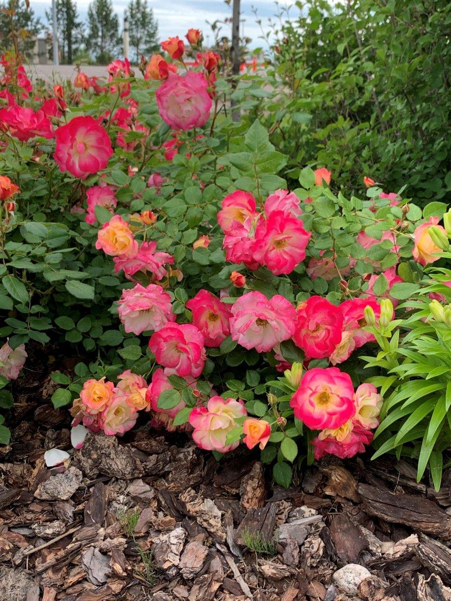 Цікава троянда «Камфір» (Campfire), 2013, має різнокольорові квіти