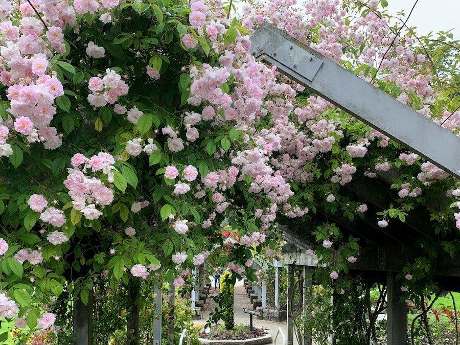 Стенлі Парк, Ванкувер. Неможливе можливо — трояндовий цвіт прикрашає суровий клімат життя канадців