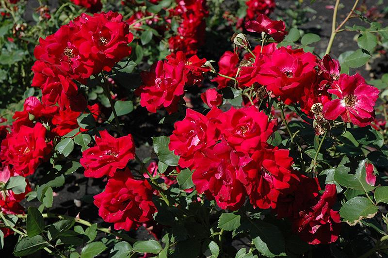 Канадська троянда «Чамплейн» (Champlain)