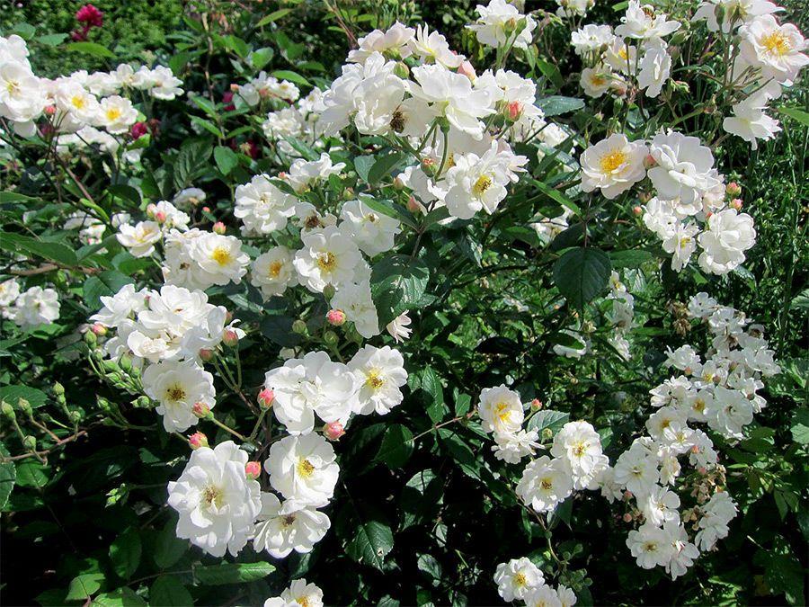 Канадська троянда «Морден Сноубьюті» (Morden Snowbeauty)