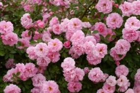 Неукривні троянди канадської селекції в Україні — найнадійніші сорти
