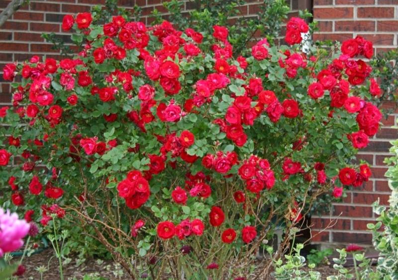 Троянда «Аделейд Худлесс» (Adelaide Hoodless)