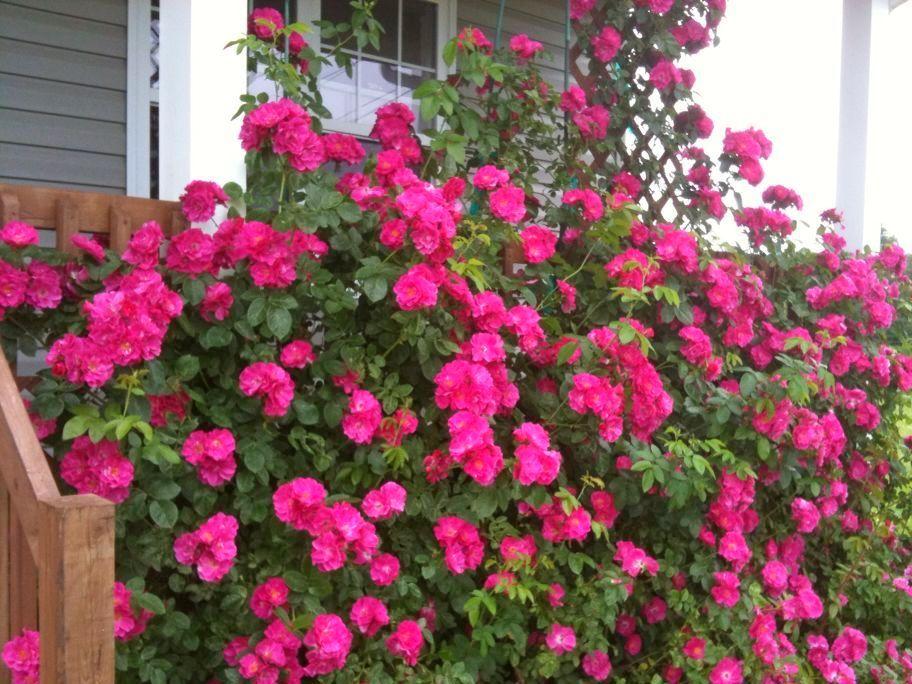 Троянда «Джон Кебот» (John Cabot)