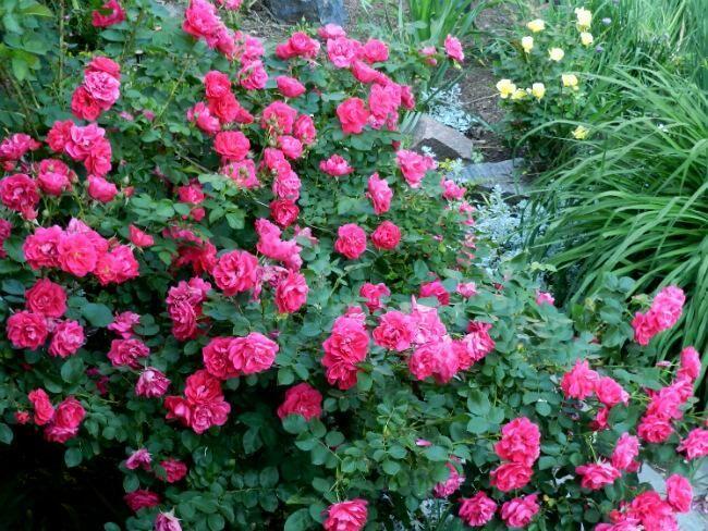 Троянда «Джордж Ванкувер» (George Vancouver, Ogilvie, Sveja, 1983)