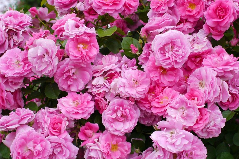 Троянда «Моден Сентеніел» (Morden Centennial)