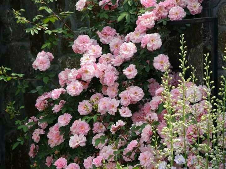 Троянда «Джон Девіс» (John Davis)