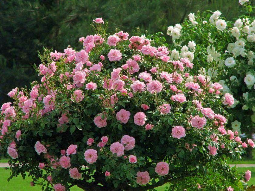 Троянда «Мартін Фробішер» (Martin Frobisher)