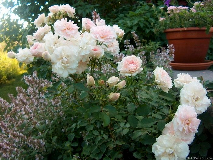 Троянда «Моден Блаш» (Morden Blush)