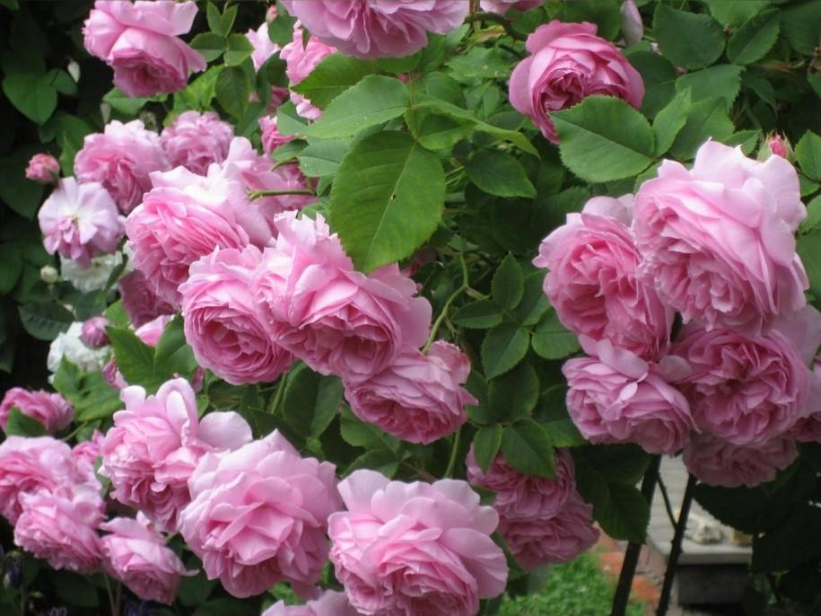 Троянда «Прэйри Джой» (Prairie Joy)