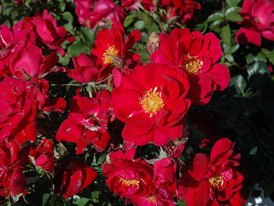 Троянда «Хенри Келси» (Henry Kelsey)