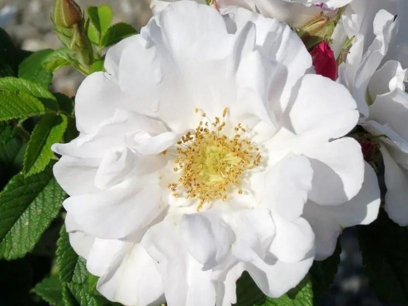 Троянда «Хенри Хадсон» (Henry Hudson)