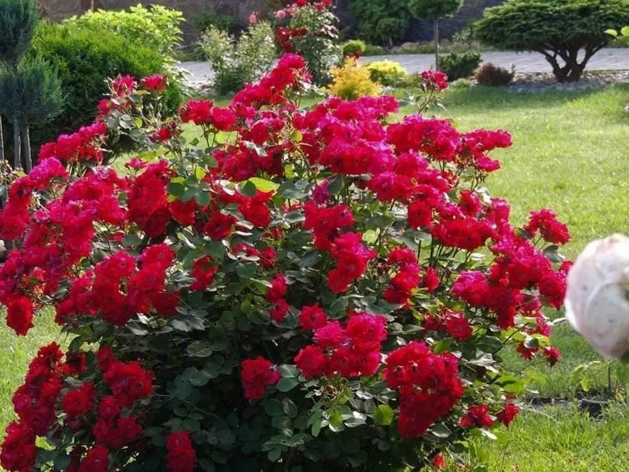 Канадська троянда «Чамплейн»