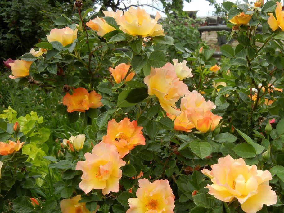 Троянда «Моден Санрайз» (Morden Sunrise)