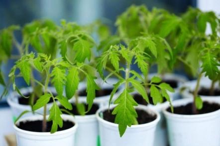 Розсада помідорів від посіву до висадки в грунт — питання і відповіді