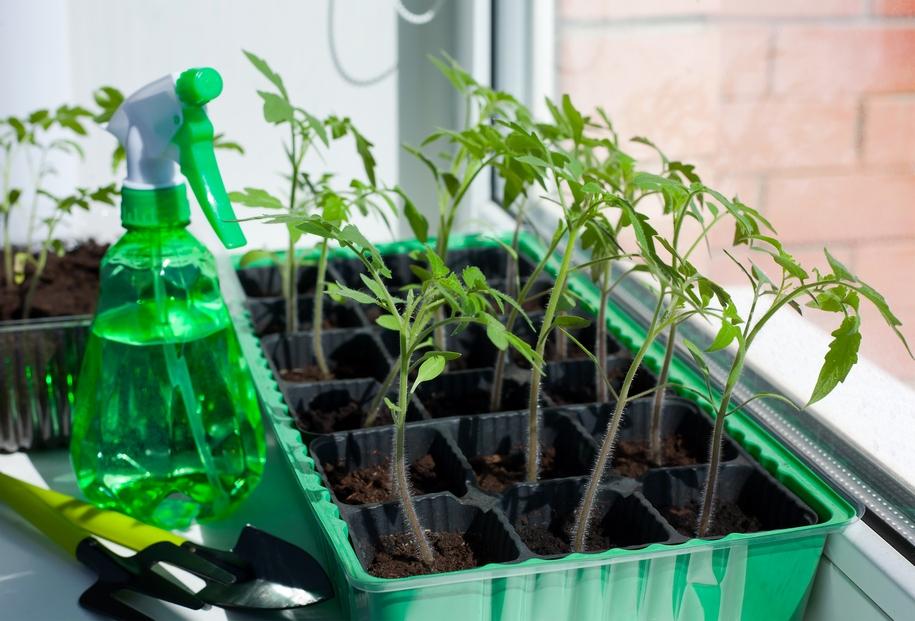 Догляд за розсадою томатоів заключається, в основному, в правильному поливі
