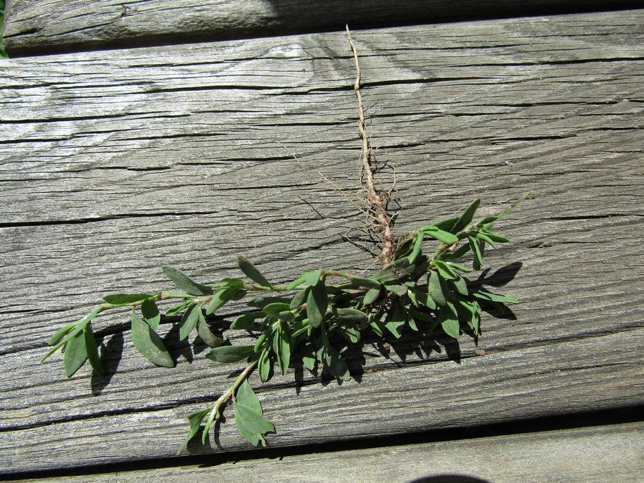 Моріжок можна розмножити, просто пересадивши кілька рослинок з природи на потрібну ділянку