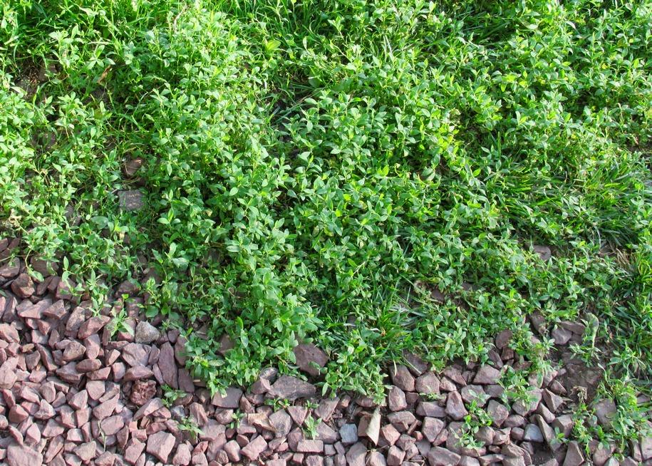 Спориш як газон — переваги і недоліки
