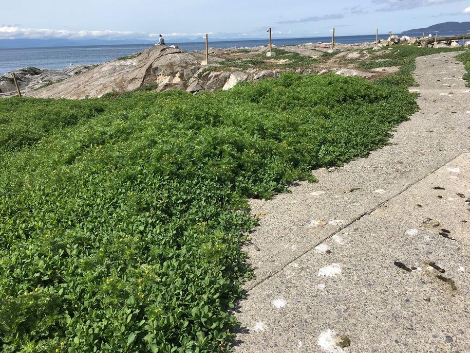 Спориш, топтун-трава, гірчак звичайний (Polygonum aviculare) в природному середовищі