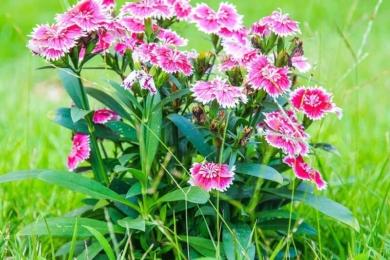 Гвоздика китайська (Dianthus chinensis)