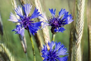 Волошка синя (Cyanus segetum)