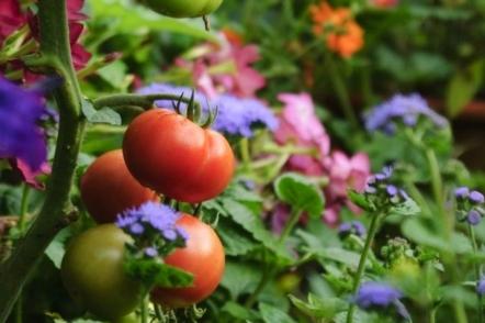 З якими сусідами люблять рости помідори?