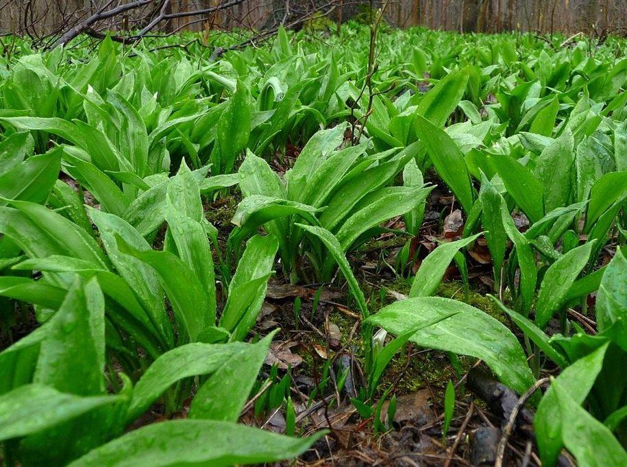 Черемша, або цибулька ведмежа, чи часник ведмежий (Allium ursinum)